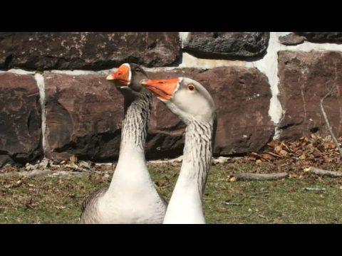 video-touch-faglar-faglar